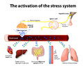Activation of the stress system human anatomy Royalty Free Stock Images