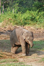 Active baby elephant running around Royalty Free Stock Photo