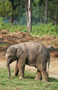 Active baby elephant running around Royalty Free Stock Images