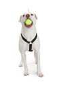 Active Dog With Tennis Ball in Mouth Royalty Free Stock Photo