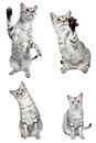 Active Egyptian Mau Cats Stock Photography