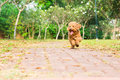 Active Poodle Purebred Dog Run...