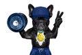 Active sport dog as gym trainer with gold medal making peace and winner signs with fingers weraing gloves lifitng a heavy dumbbell Royalty Free Stock Photography