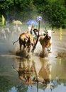 Activity sport, Vietnamese farmer, cow race