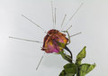 Acupuncture on dry rose in concept healing wrinkle or acupunctur for beauty Royalty Free Stock Photo