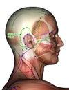 Acupuncture Point GB10 Fubai, 3D Illustration