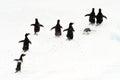 Adélie Penguins running on ice. Royalty Free Stock Photo