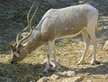 Addax 1 Royalty Free Stock Photo
