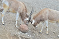 Addax challenge two each other near a large rock Royalty Free Stock Photography