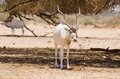 Addax are eating white antelope Royalty Free Stock Images