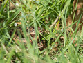 Adder hiding small venomous snake female or viper concealed in long grass Stock Photography
