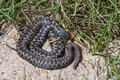 Adder snake uk basking in the morning sun Royalty Free Stock Images