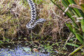 Adder snake vipera berus by pond leaning over water Stock Image