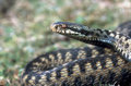 Adder vipera berus single female head shot midlands Royalty Free Stock Images