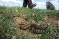Adder vipera berus single female with mans feet Royalty Free Stock Photos