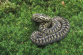 Adder vipera berus single female on moss midlands Royalty Free Stock Photography