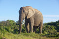 Addo elephant close encounter with an in national park south africa Royalty Free Stock Photos