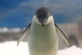 Adeile penguin Royalty Free Stock Photos