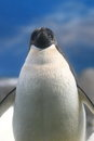 Adeile penguin Stock Photo