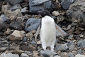 Adelie penguin Royalty Free Stock Photography