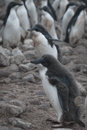 Adelie penguin in Antarctica Stock Images