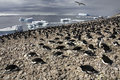 Adelie penguin colony antarctica pygoscelis adeliae on the antarctic peninsular in Stock Photo