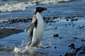 Adelie penguin coming out of the water Stock Photography
