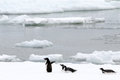 Adelie penguin penguins on pack ice Royalty Free Stock Images