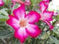 Adenium obesum, Desert Rose, Impala Lily, Mock Aza Royalty Free Stock Photo