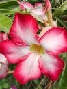 Adenium obesum flower pink impala lily Stock Photography