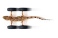 Adhere new tires in high speed gecko and on white background Royalty Free Stock Image