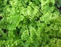 Adiantum full frame maidenhair fern background Royalty Free Stock Image