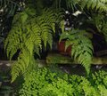 Adiantum Green Curly Fern,  many different indoor ferns and in a hanging pot Royalty Free Stock Photo