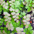 Adiantum or maidenhair close up shot of called Stock Photography