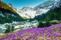 Field with purple crocus flowers and snowy mountains, Transylvania, Romania Royalty Free Stock Photo