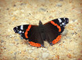 Admiral butterfly red vanessa atalanta Royalty Free Stock Photos