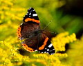 Daily Admiral butterfly Vanessa atalanta Stock Photos