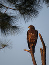 Adolescent bald eagle perch over east bay an perched high on a dead pine tree looking in panama city florida in the early morning Royalty Free Stock Photos