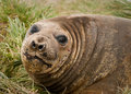 Adolescent Elephant Seal Royalty Free Stock Image
