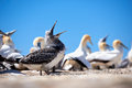 Adolescent gannet an waiting to be fed amongst the colony of cape kidnappers new zealand Stock Photos