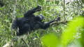 Adolescent Gorilla Royalty Free Stock Photo