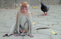 Adolescent macaque is sitting on asphalt batu caves Royalty Free Stock Photo