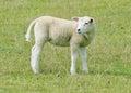 Adolescent sheep an lamb amongst grassland Stock Image