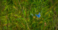 Adonis Blue butterfly on a flower Royalty Free Stock Photo