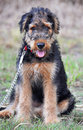 Adorable airedale terrier week puppy portrait an extremely cute and irresistible pure breed sitting quietly outdoors while her Royalty Free Stock Photos
