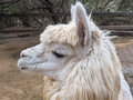Adorable alpaca cute shaggy face of an Royalty Free Stock Photography