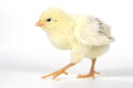 Adorable baby chick chicken on white background cute Royalty Free Stock Photo