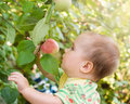Adorable baby girl looking red apple in the fruit garden under an tree Stock Photography