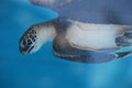 Adorable Baby Sea Turtle Underwater Royalty Free Stock Photo
