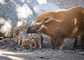 Adorable baby visayan warty piglets with mother piglet in the dirt Royalty Free Stock Photo